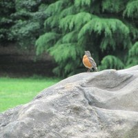 Robin on a Rock