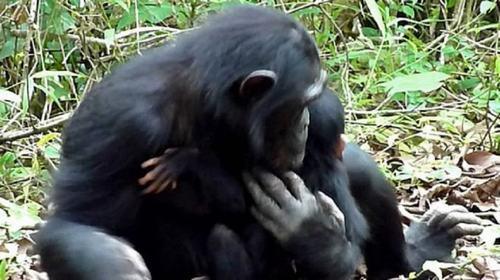 chimpance-down1