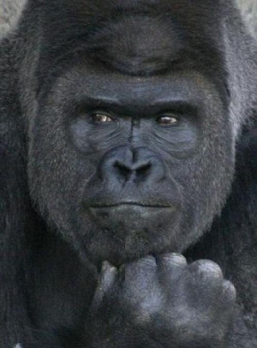 gorila-2