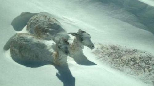 guanacos-congelados