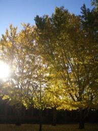 Canberra Autumn