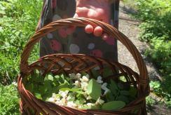 panier rempli de fleurs d'acacia