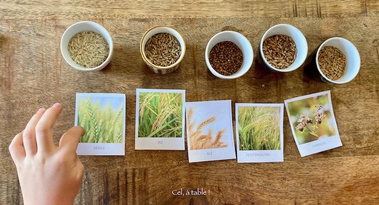 Jeu d'association des plantes et des graines de céréales