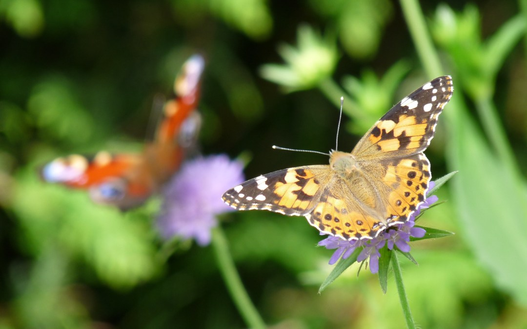 Mass Migration of Painted Lady Butterflies in California