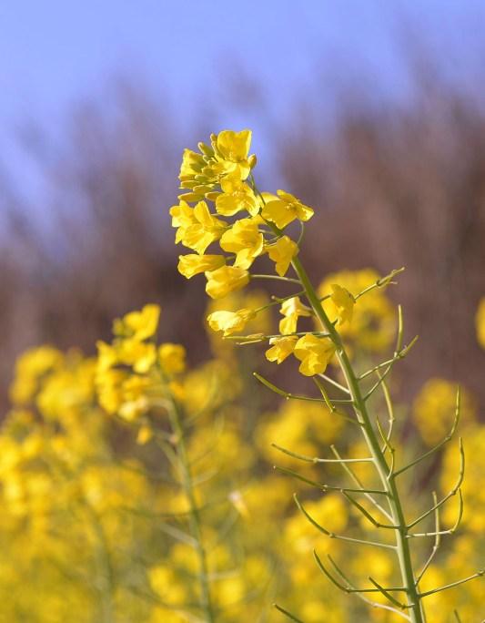 Flower of Oilseed Rape