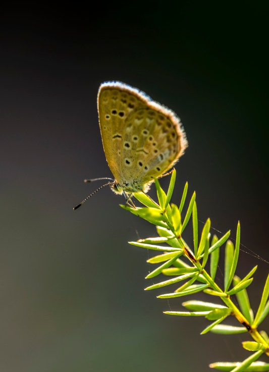 Lesser Grass Blue with the Sun on its Back