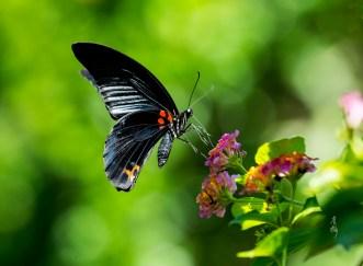 Papilio memnon (male)