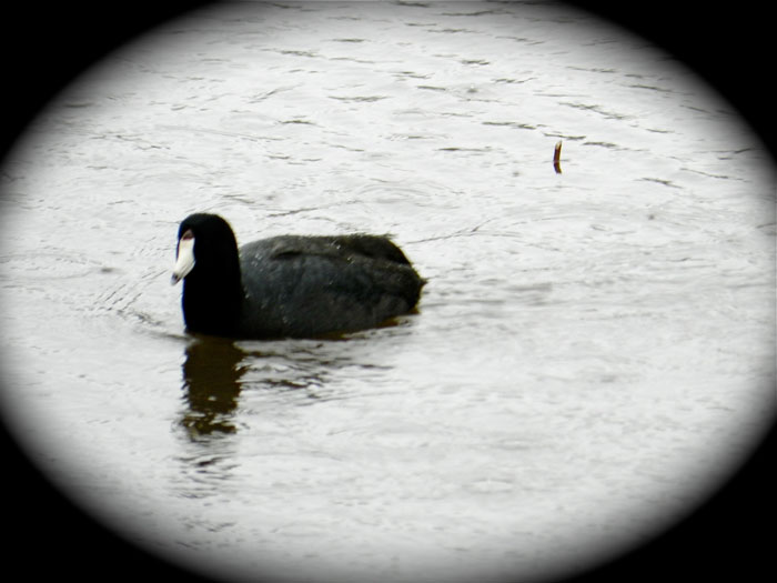 American coot, © 2013 Celia Her City