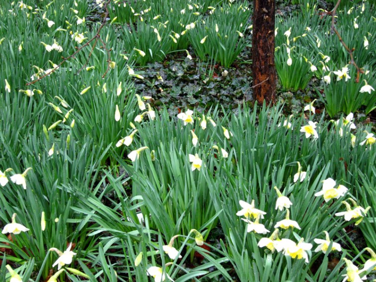 Daffodils, © Celia Her City