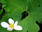 Blood root leaf and flower, © 2013 Celia Her City