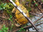 Eastern box turtle, © 2013 Celia Her City