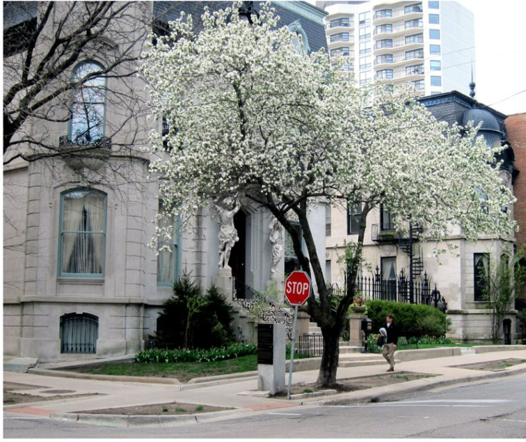 Blossoming tree in front of the Francis J Dewes Mansion, Chicago © 2013 Celia Her City