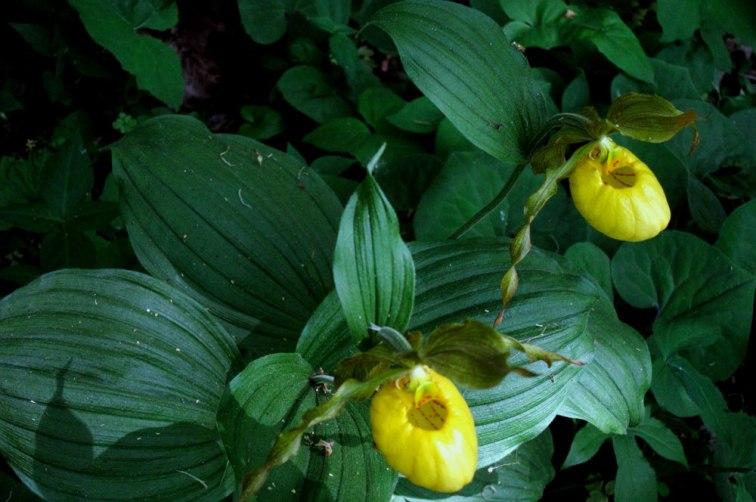 Yellow lady-slipper orchids (Cypripedium calceolus), © 2013 Celia Her City