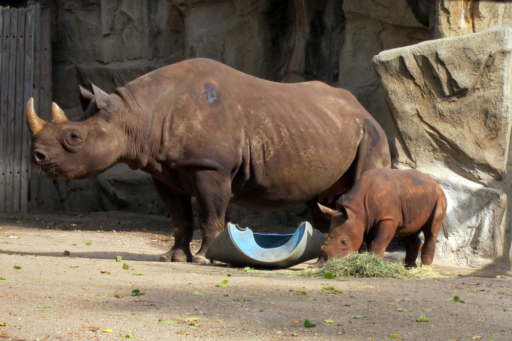 King, the Lincoln Park Zoo's baby rhino, with his mother © 2013 Celia Her City