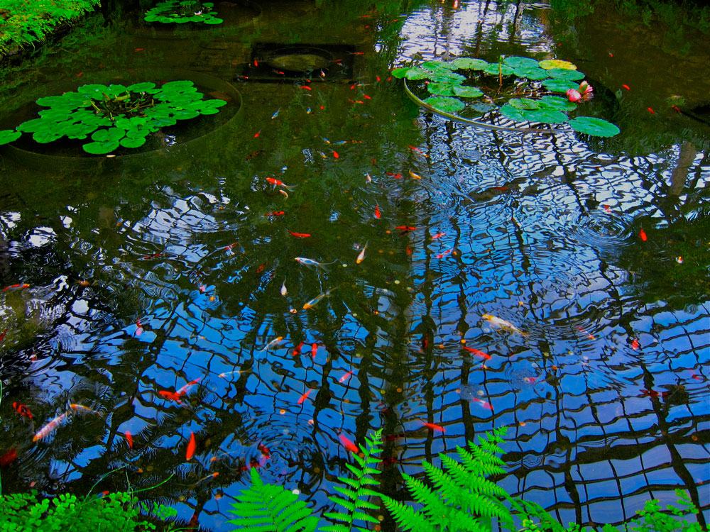Bright fish pond fringed with green plants and reflecting the blue sky, at Chicago's Garfield Park Conservatory.