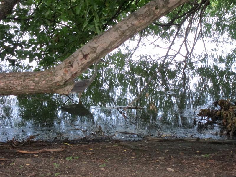 grey-heron-wading