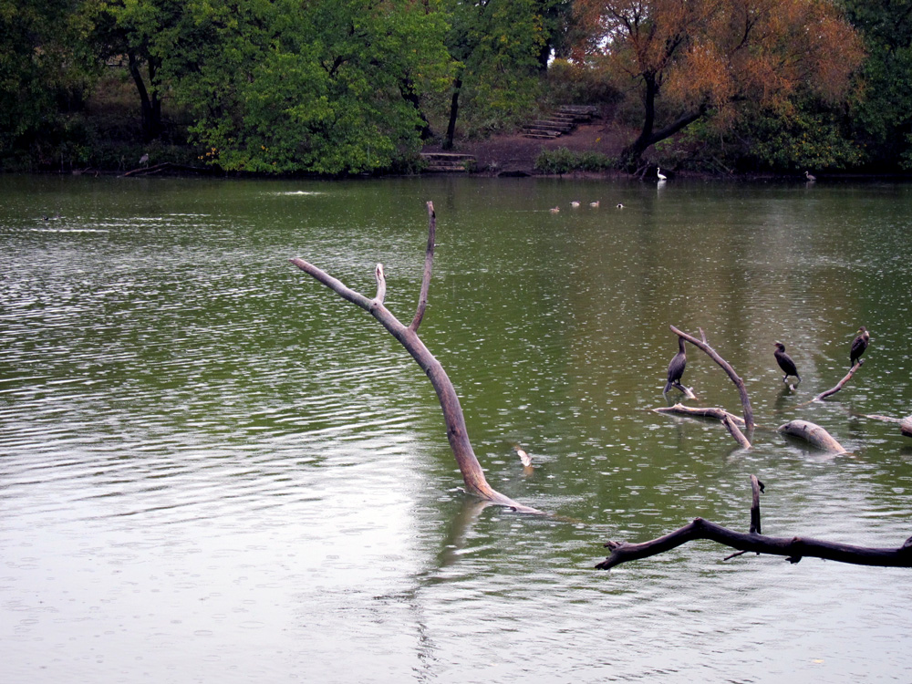 Cormorants and geese at the North Pond (Chicago), © 2014 Celia Her City