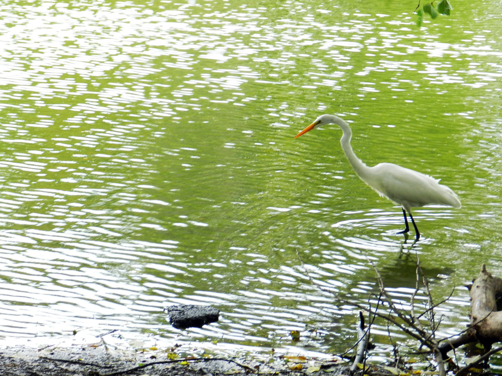 The great egret wades in a greeny North Pond (Chicago), © 2014 Celia Her City