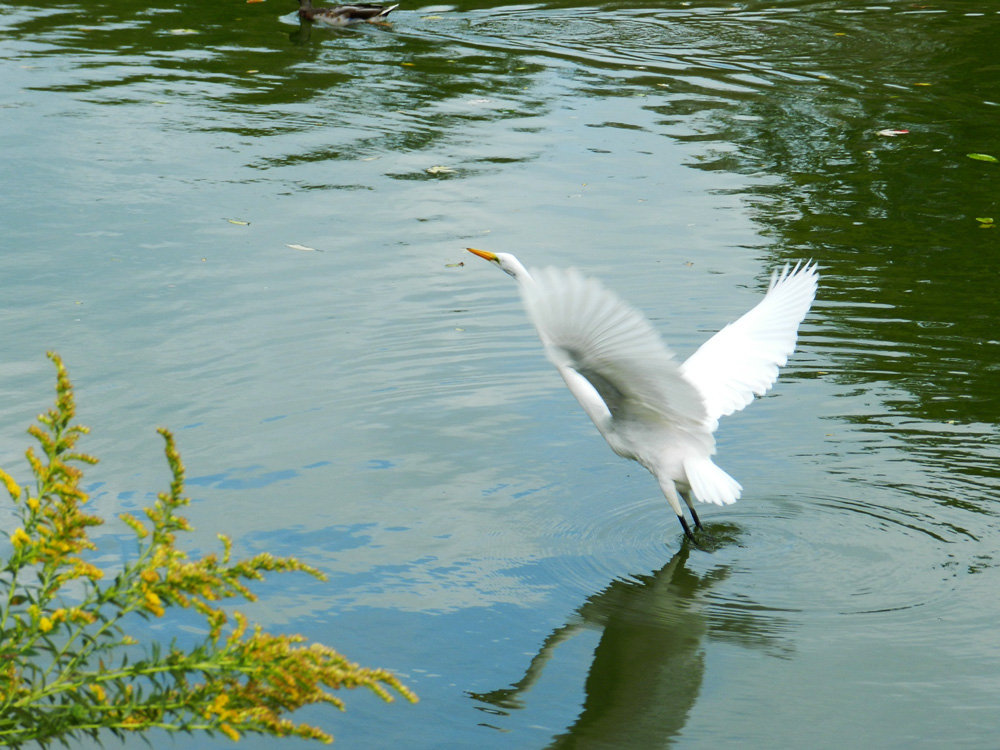 Great egret taking off (North Pond, Chicago), © 2014 Celia Her City