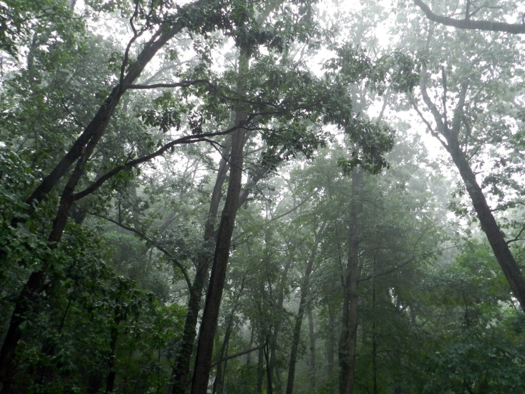 Rain falling through oak trees.