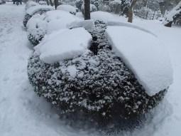 Snow-capped shrubs