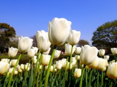 A mountain of white tulips