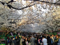 Cherry blossoms in Ueno