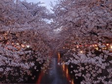 Cherry blossoms along the Meguro River
