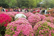 Azaleas at Nezu Shrine