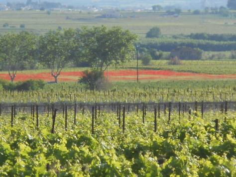 Poppies in the vines
