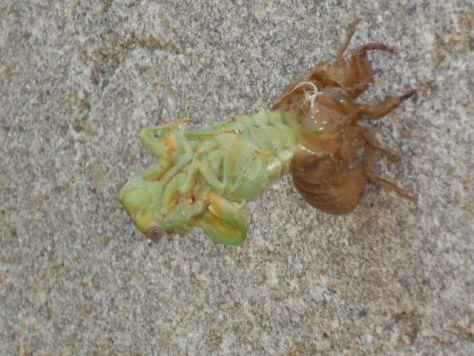 cicada alien