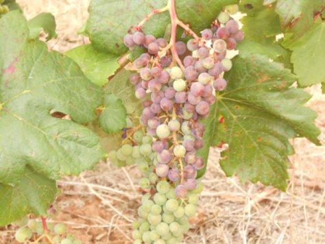 Languedoc Alicante grapes