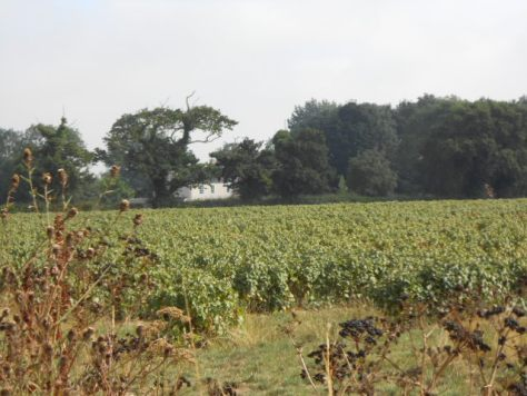 vineyard in Norfolk, England