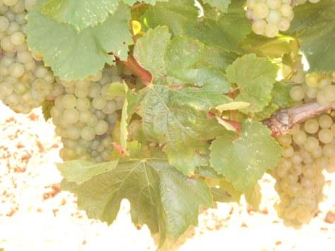 Languedoc Chardonnay