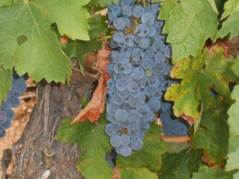 Languedoc Merlot