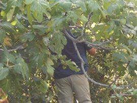 Figs grow wild