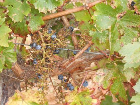 Languedoc harvest