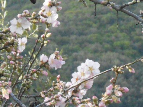February blossom in Roquebrun