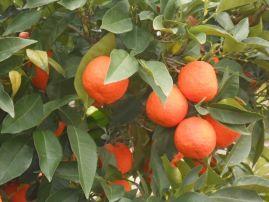 Roquebrun oranges
