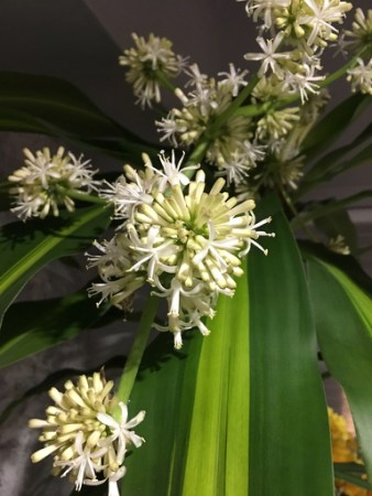 ドラセナに花が咲いた(ヒロサワ)