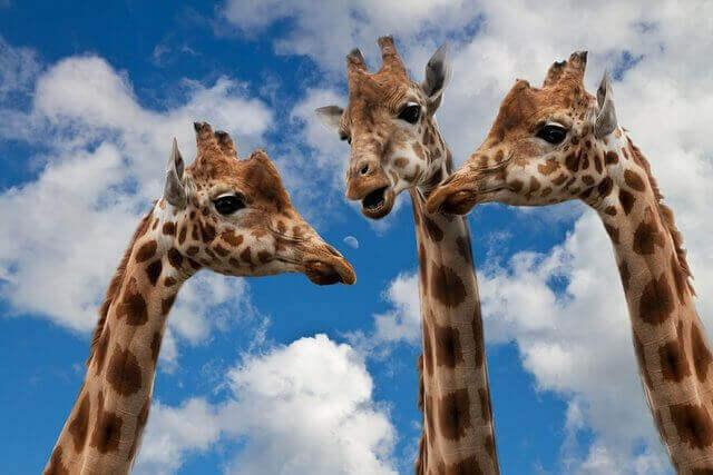 Son tres jirafas en una reunion solo se miran sus cuellos y sus cabezas