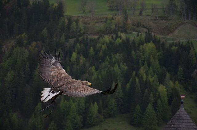 Es una aguila volando en las alturas de un gran bosque