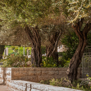 Old olive trees in the very well maintained and beautiful city of Haifa, Israel