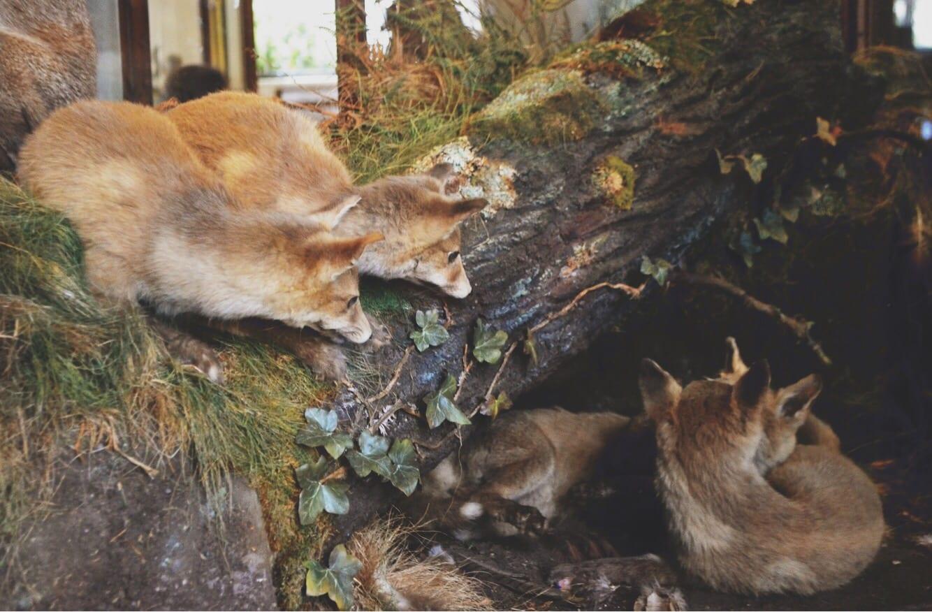 natural history museum dublin fox den
