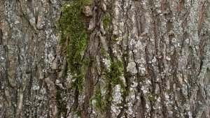 Black Willow Bark