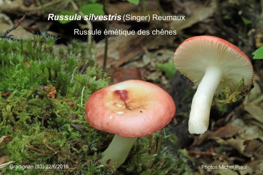 Russula-silvestris-MP.jpg