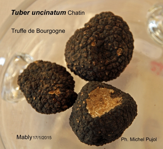 T.-uncinatum-MP.jpg