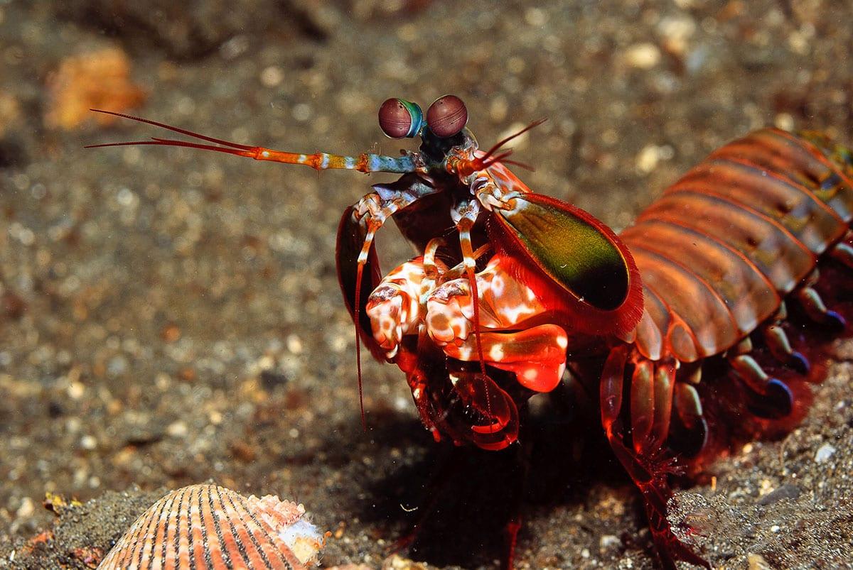 Mantish Shrimp