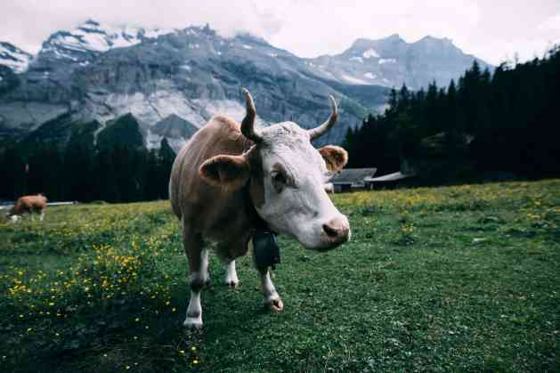 white and brown cow near mountain during daytime