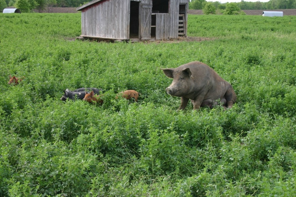 D'Artagnan Heritage Breed Hogs